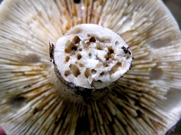 Можно ли сушить червивые белые грибы